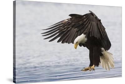 Bald Eagle Alighting-Ken Archer-Stretched Canvas Print