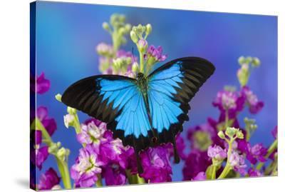 Australian Mountain Blue Swallowtail Butterfly-Darrell Gulin-Stretched Canvas Print