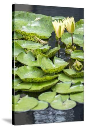 Hardy Waterlily, USA-Lisa S^ Engelbrecht-Stretched Canvas Print