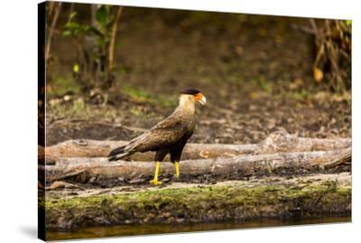 A crested caracara walks along a river bank in the Pantanal, Brazil-James White-Stretched Canvas Print