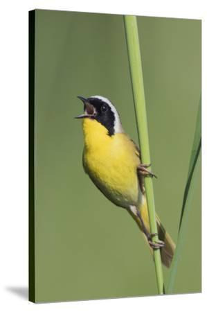 Common Yellowthroat Warbler Singing-Ken Archer-Stretched Canvas Print