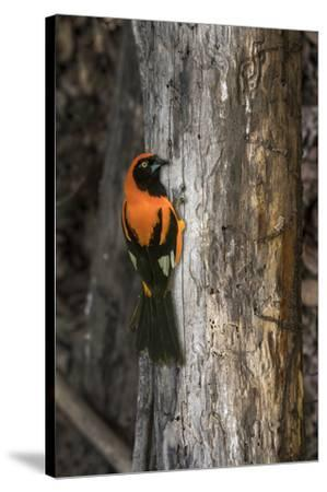 Brazil, Pantanal. Orange-backed Troupial on tree.-Jaynes Gallery-Stretched Canvas Print