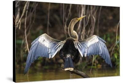 Brazil. An anhinga drying its wings in the sun, found in the Pantanal.-Ralph H^ Bendjebar-Stretched Canvas Print