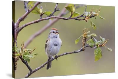 American Tree Sparrow Singing-Ken Archer-Stretched Canvas Print