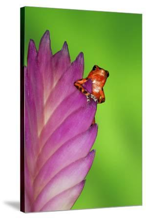 South America, Panama. Strawberry poison dart frog on bromeliad flower.-Jaynes Gallery-Stretched Canvas Print