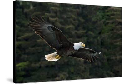 Bald Eagle, Glacier Bay National Park and Preserve, Alaska, USA-Art Wolfe-Stretched Canvas Print