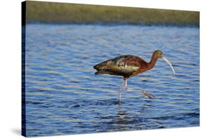 USA, California, Los Angeles. Glossy ibis in breeding plumage.-Jaynes Gallery-Stretched Canvas Print