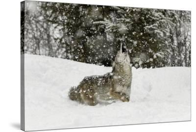 Coyote in snow, Montana-Adam Jones-Stretched Canvas Print