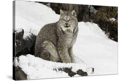 Canada Lynx in winter, Montana-Adam Jones-Stretched Canvas Print