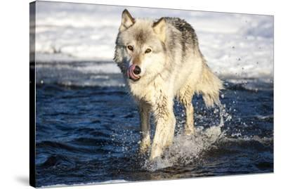 USA, Minnesota, Sandstone. Wolf Running in the water-Hollice Looney-Stretched Canvas Print
