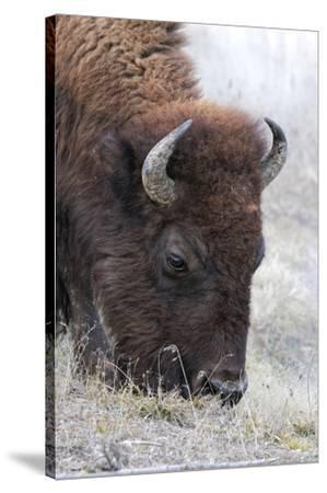 Bison, Yellowstone National Park, Montana, Wyoming-Adam Jones-Stretched Canvas Print