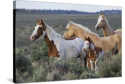 Wild horses, Mustangs-Ken Archer-Stretched Canvas Print