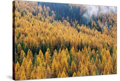 Montana, Lolo National Forest, golden larch trees in fog-John & Lisa Merrill-Stretched Canvas Print