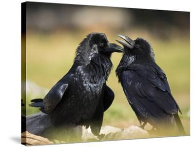 Pair of Common Ravens, Corvus corax, Yellowstone, Montana-Maresa Pryor-Stretched Canvas Print