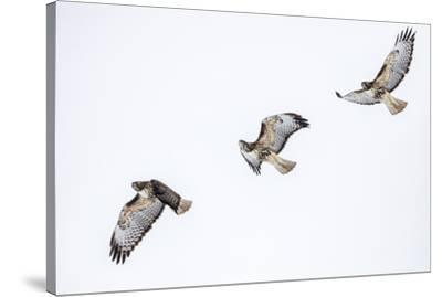 Red tailed hawk in flight sequence at Ninepipe WMA, Ronan, Montana, USA.-Chuck Haney-Stretched Canvas Print