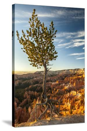 USA, Utah, Bryce Canyon National Park. Sunrise on ponderosa pine and canyon.-Jaynes Gallery-Stretched Canvas Print