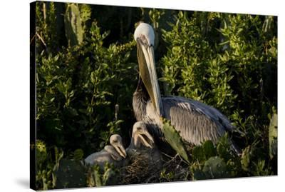 Brown Pelicans, Pelecanus occidentalis, nesting-Larry Ditto-Stretched Canvas Print