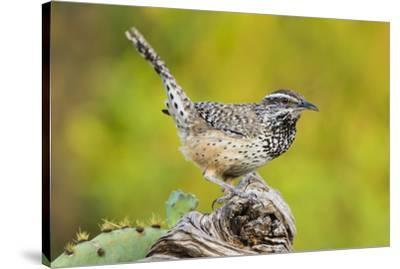 Cactus Wren, Campylorhynchus brunneidapillus, feeding-Larry Ditto-Stretched Canvas Print