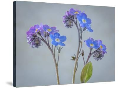 USA, Washington State, Seabeck of forget-me-not flowers.-Jaynes Gallery-Stretched Canvas Print