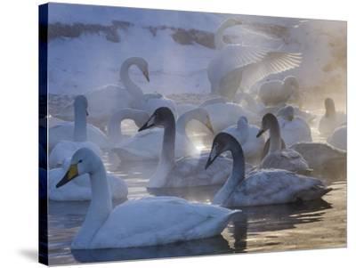 Whooper swans, Hokkaido Island, Japan-Art Wolfe-Stretched Canvas Print