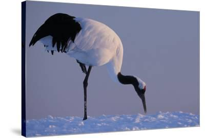 Red-crowned crane, Hokkaido Island, Japan-Art Wolfe-Stretched Canvas Print