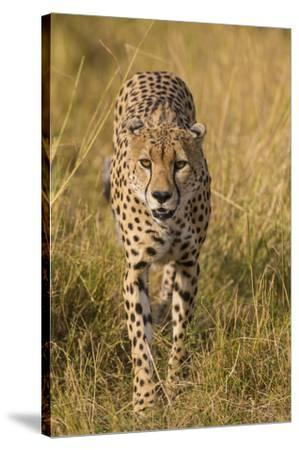 Africa. Tanzania. Cheetah hunting on the plains of the Serengeti, Serengeti National Park.-Ralph H^ Bendjebar-Stretched Canvas Print