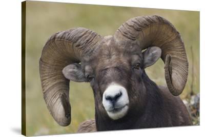 Bighorn sheep ram-Ken Archer-Stretched Canvas Print