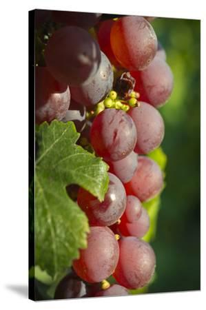 France, Alsace, Eguisheim. A bunch of Gewurztraminer grapes.-Janis Miglavs-Stretched Canvas Print