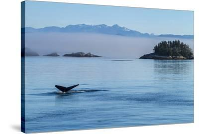 Canada, British Columbia. Humpback whale's tale as it dives, Johnstone Strait.-Brenda Tharp-Stretched Canvas Print