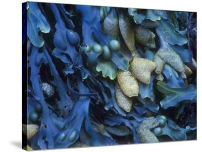 One finds this kelp growing on the beach in Hellnar, Iceland.-Mallorie Ostrowitz-Stretched Canvas Print