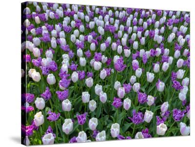 Violet and White Delight-Marco Carmassi-Stretched Canvas Print