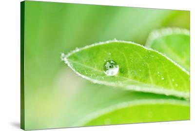 A bead of rainwater rests on the leaf of a lupine plant.-Amy White-Stretched Canvas Print