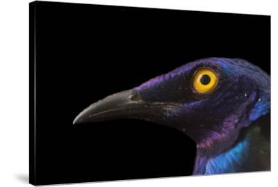 Purple glossy starlings, Lamprotornis purpureus, at the Topeka Zoo.-Joel Sartore-Stretched Canvas Print