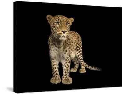 An endangered Persian leopard, Panthera pardus saxicolor, at the Budapest Zoo.-Joel Sartore-Stretched Canvas Print