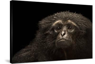 An endangered Agile gibbon, Hylobates agilis, at the Singapore Zoo.-Joel Sartore-Stretched Canvas Print