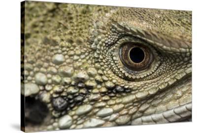Macro eye and head of an Eastern water dragon, Intellagama lesueurii.-Doug Gimesy-Stretched Canvas Print