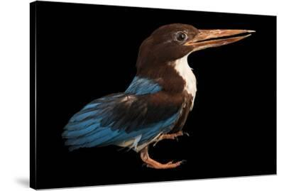 A white breasted kingfisher, Halcyon smyrnensis perpulchra, at Penang Bird Park.-Joel Sartore-Stretched Canvas Print