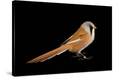 A bearded reedling, Panurus biarmicus, at the Plzen Zoo.-Joel Sartore-Stretched Canvas Print