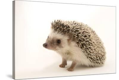 A North African hedgehog, Atelerix algirus, at the Virginia Aquarium.-Joel Sartore-Stretched Canvas Print