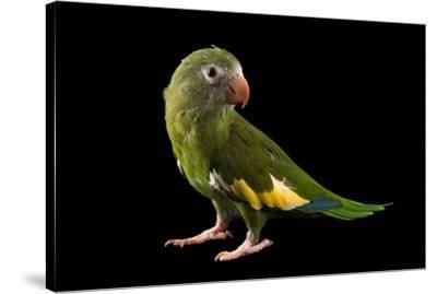 White winged parakeet, Brotogeris versicolurus, at Cafam Zoo.-Joel Sartore-Stretched Canvas Print