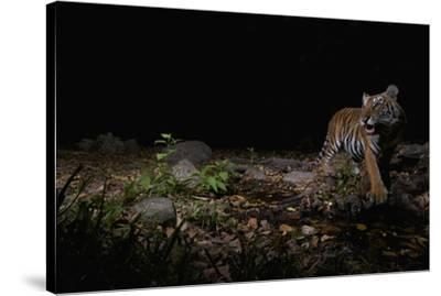 A remote camera captures an Indochinese tiger while hunting.-Steve Winter-Stretched Canvas Print