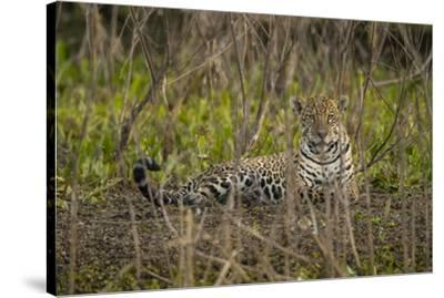 A jaguar in the Pantanal of Mato Grosso Sur in Brazil.-Steve Winter-Stretched Canvas Print