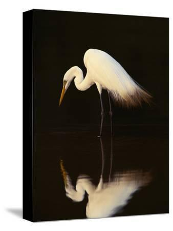 Great Egret in Lagoon, Pantanal, Brazil-Frans Lanting-Stretched Canvas Print