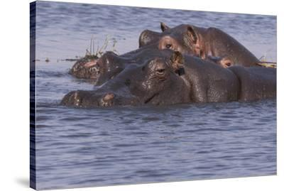 Three hippopotamus, Chobe National Park, Botswana, Africa.-Brenda Tharp-Stretched Canvas Print