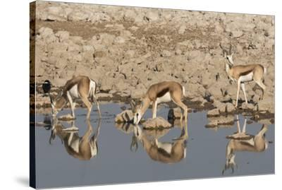 Three Springbok pause to drink at the Okaukuejo waterhole, Etosha National Park, Namibia.-Brenda Tharp-Stretched Canvas Print