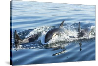 Surfacing Resident Orca Whales at Boundary Pass, border between British Columbia Gulf Islands Canad-Stuart Westmorland-Stretched Canvas Print