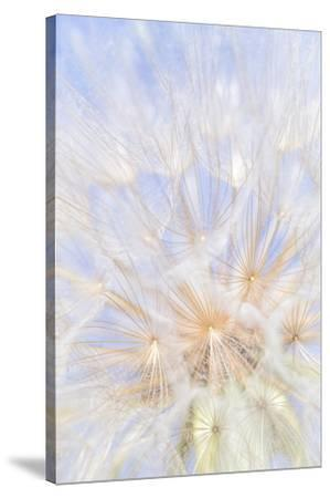 Canada, British Columbia. Yellow salsify flower seeds close-up.-Jaynes Gallery-Stretched Canvas Print