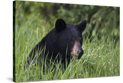 Black Bear, Spring rain-Ken Archer-Stretched Canvas Print