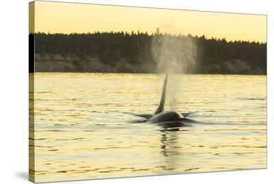 Transient Orca Whales near D'Arcy Island, Gulf Island National Park Reserve, British Columbia, Cana-Stuart Westmorland-Stretched Canvas Print