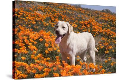Yellow Labrador Retriever dog in a field of poppies-Zandria Muench Beraldo-Stretched Canvas Print